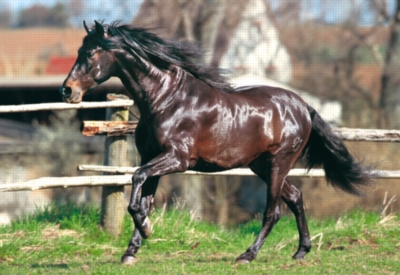 Andalusian Horse Horses Jigsaw Puzzle