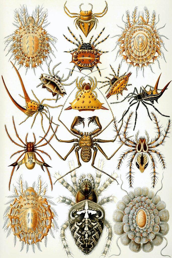 Arachnida by Ernst Haeckel Fine Art