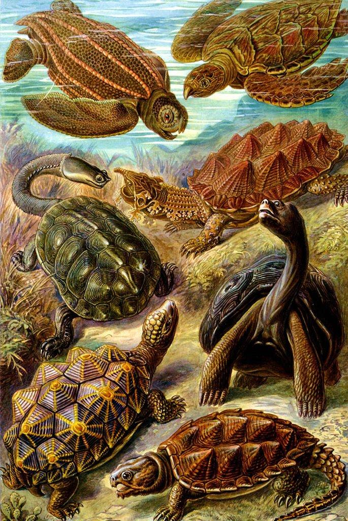 Chelonia by Ernst Haeckel Fine Art
