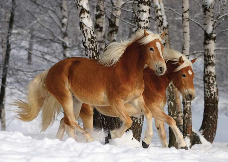 Haflinger Duo (239 pieces) Horses Jigsaw Puzzle