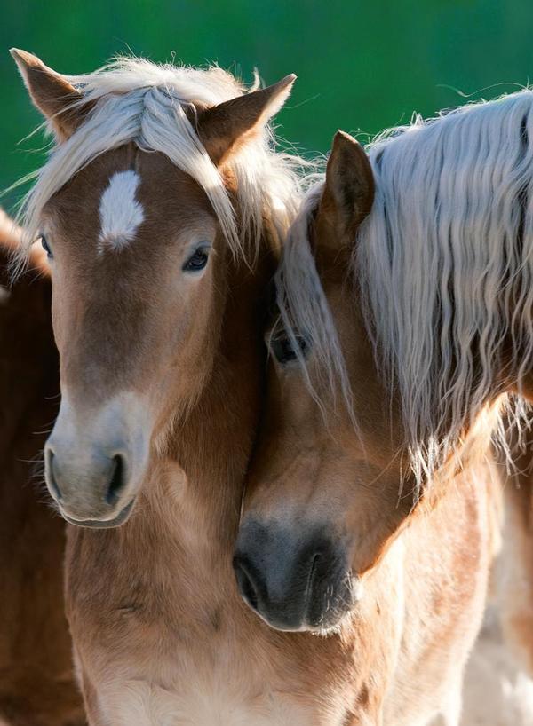 Horse Portrait Horses Jigsaw Puzzle