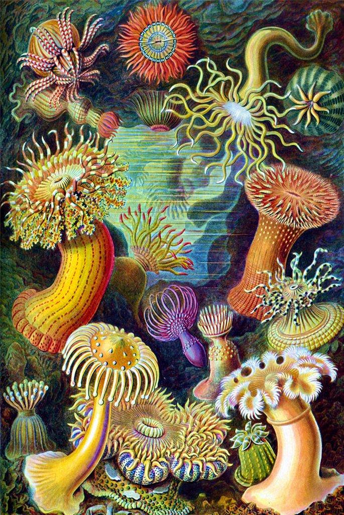 Sea Anemones by Ernst Haeckel Fine Art