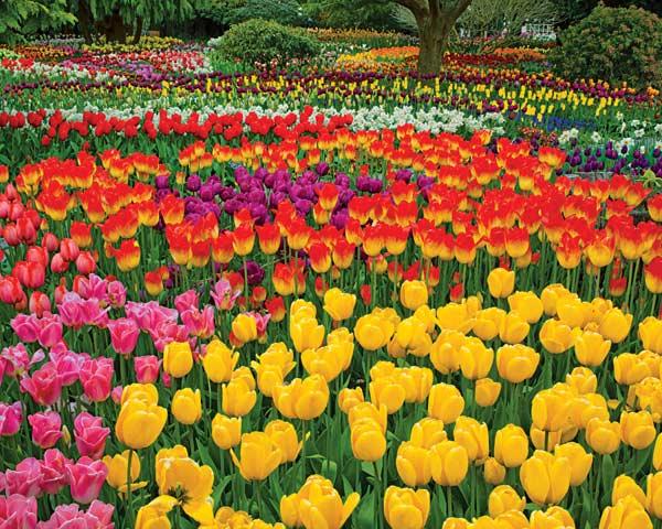 Tulip Garden Flowers Jigsaw Puzzle
