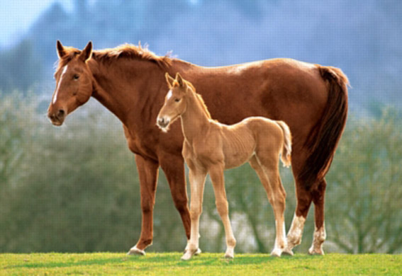 Westfalian Mare with Foal Horses Jigsaw Puzzle