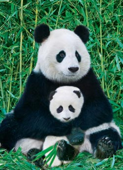 Panda and Baby Asia Jigsaw Puzzle