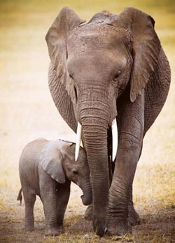Elephant & Baby Other Animals Jigsaw Puzzle