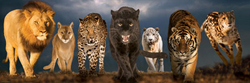 Big Cats Tigers Panoramic