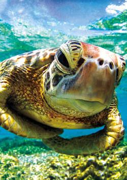Earthpix - Turtle Swimmer Under The Sea Jigsaw Puzzle