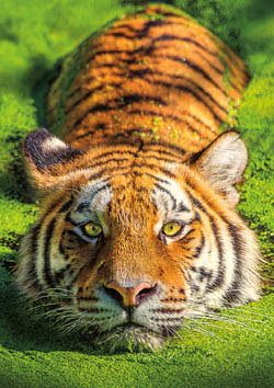 Earthpix - Tiger Eyes Missouri Tigers Jigsaw Puzzle