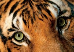 Endangered Malayan Tiger Tigers Jigsaw Puzzle