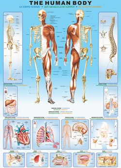 The Human Body - Scratch and Dent Science Jigsaw Puzzle