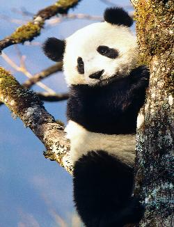 Panda (Animal Planet) Wildlife Jigsaw Puzzle