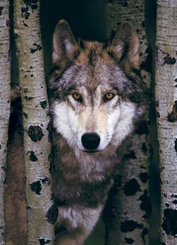 Gray Wolf Wildlife Jigsaw Puzzle
