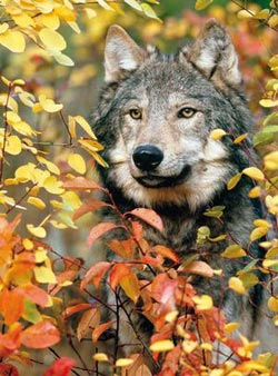 Colorluxe - Autumn Gray Wolf Fall Jigsaw Puzzle