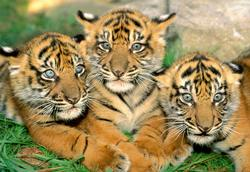 Tiger Cubs Tigers Jigsaw Puzzle
