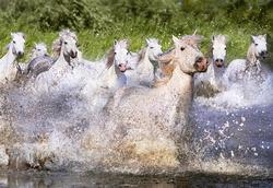 White Camargue Horses Horses Jigsaw Puzzle
