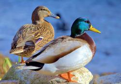 Ducks in Plymouth Lakes / Rivers / Streams Wooden Jigsaw Puzzle