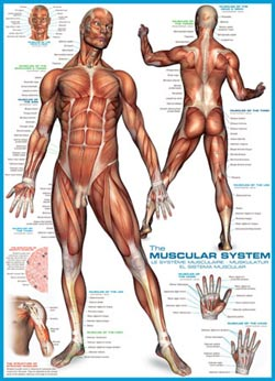 The Muscular System Science Jigsaw Puzzle