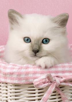 Sweet Eyes Cats Miniature