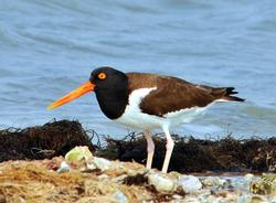 American Oystercatcher Birds Wooden Jigsaw Puzzle
