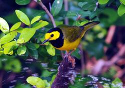 Hooded Warbler Birds Wooden Jigsaw Puzzle