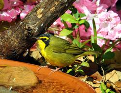 Kentucky Warbler Birds Wooden Jigsaw Puzzle