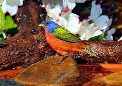 Painted Bunting Male Birds Wooden Jigsaw Puzzle