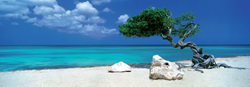 Divi Divi Tree Photography Panoramic