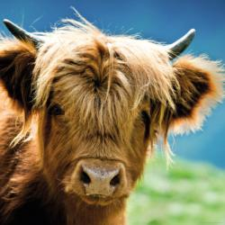 Highland Cow Farm Animals Jigsaw Puzzle