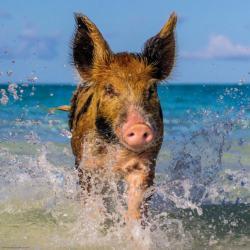 Paradise Pig Seascape / Coastal Living Jigsaw Puzzle