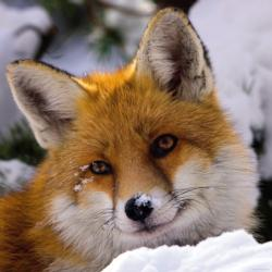 Fox Snow Jigsaw Puzzle