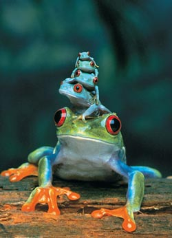 Red-Eyed Tree Frog Reptiles and Amphibians Jigsaw Puzzle