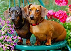 Just Dachshunds Photography Jigsaw Puzzle