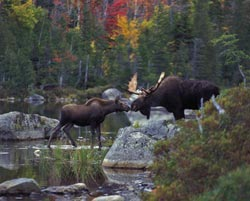 Kissing Moose Forest Jigsaw Puzzle