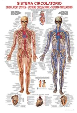Circulatory System Anatomy & Biology
