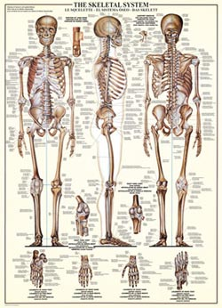 The Skeletal System Science Jigsaw Puzzle