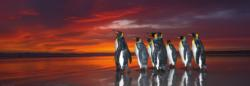 King Penguins Sunrise / Sunset Panoramic Puzzle