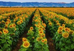 Fields of Gold Landscape Jigsaw Puzzle