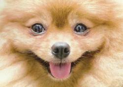 Pomeranian Puppy Dogs Jigsaw Puzzle