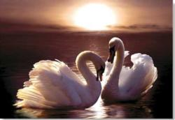 Loving Swans Birds Jigsaw Puzzle
