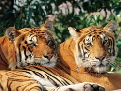 Asian Bengal Tigers Tigers Jigsaw Puzzle