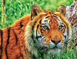 Bengal Tiger Tigers Jigsaw Puzzle