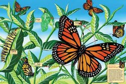 Life Cycle of a Monarch Butterfly - Scratch and Dent Butterflies and Insects Jigsaw Puzzle