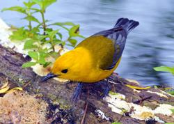 Prothonotary Warbler Birds Wooden Jigsaw Puzzle