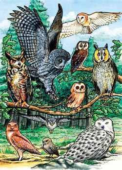 North American Owls, (tray) Birds Tray Puzzle