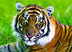 Tiger Wildlife Jigsaw Puzzle