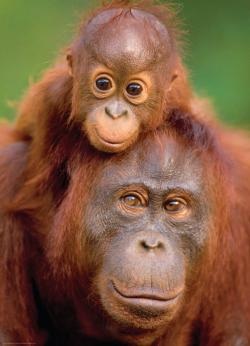 Orangutan & Baby Jungle Animals Jigsaw Puzzle