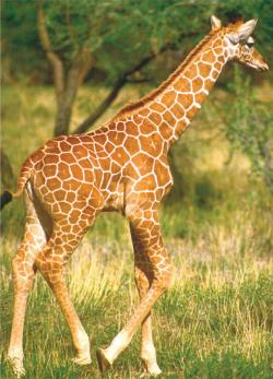 Wildlife - Giraffe (mini puzzle) Jungle Animals Miniature