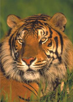 Wildlife - Tiger (mini puzzle) Jungle Animals Miniature