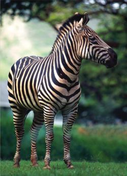 Wildlife - Zebra (mini puzzle) Jungle Animals Miniature